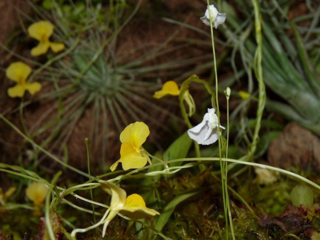utricularia yellow5