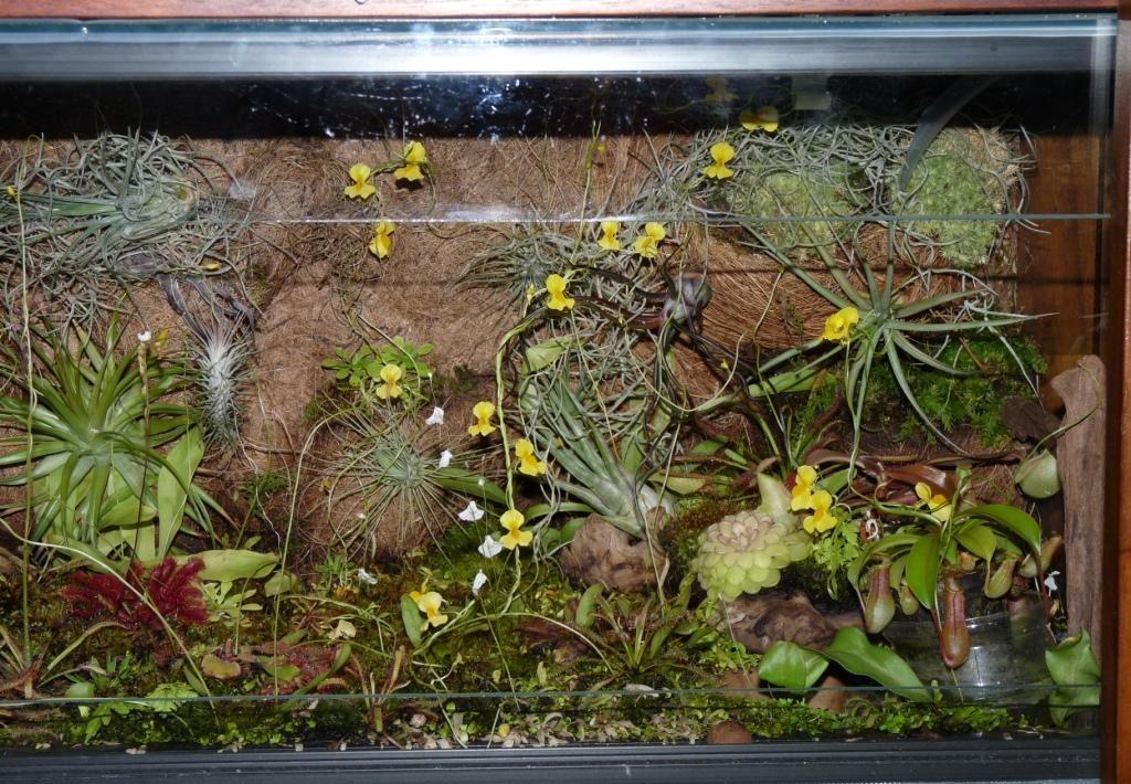 yellow utricularia