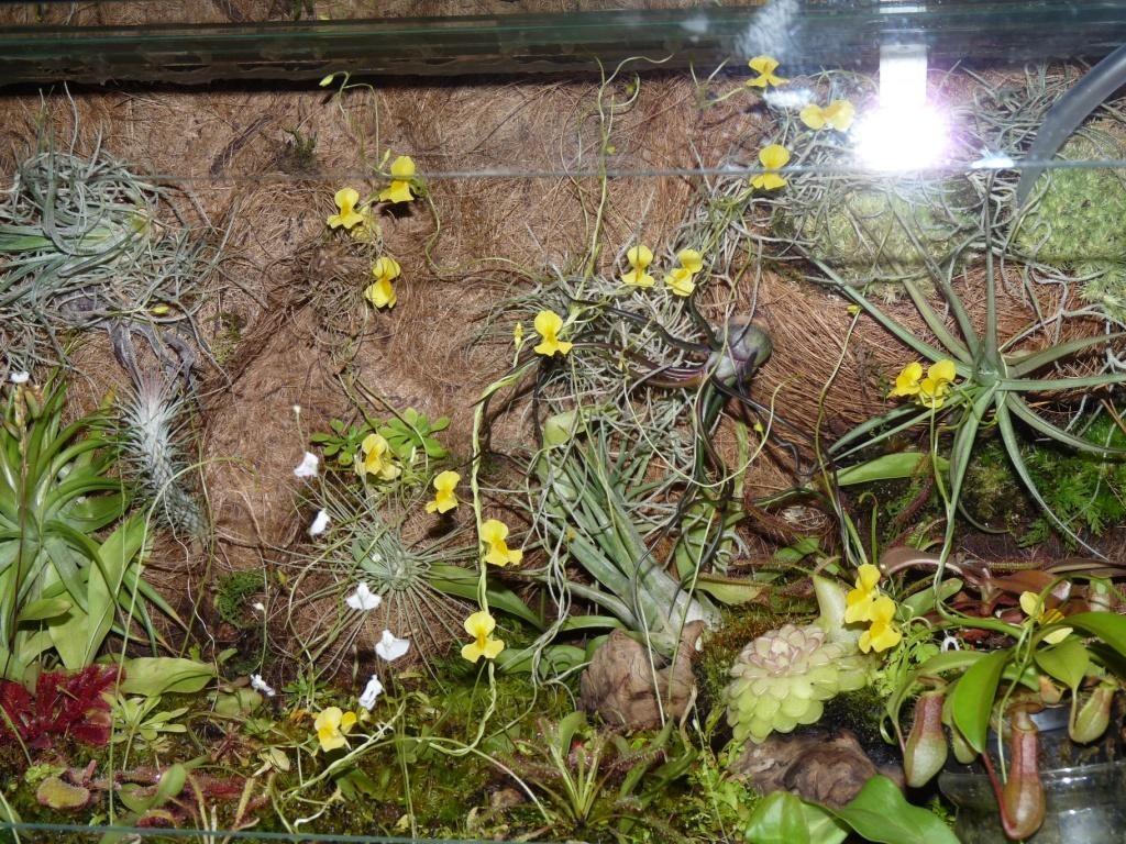 utricularia yelow flower