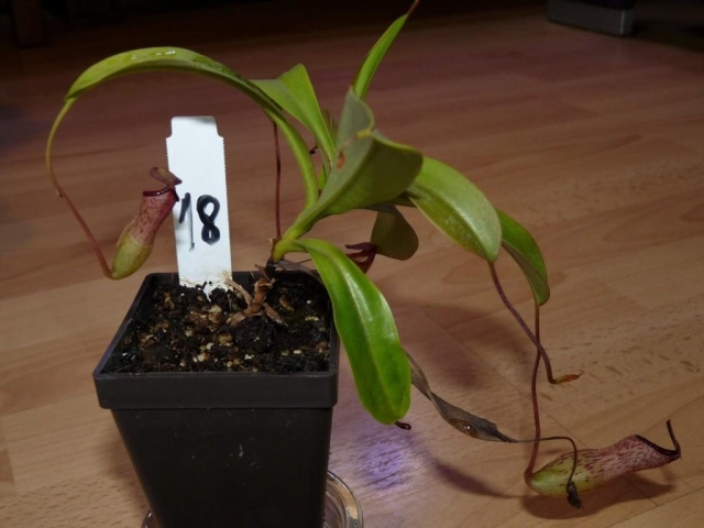 Nepenthes ventricosa x lady pauline