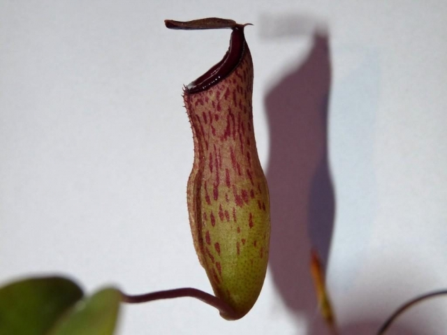 Nepenthes ventricosa x lady pauline 2