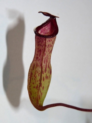 Nepenthes ventricosa x lady pauline 3
