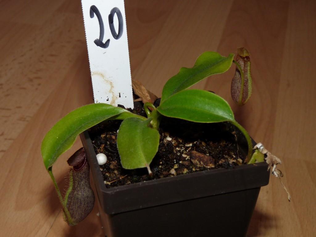 Nepentes spathulata x boschiana 1