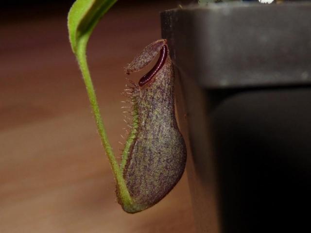 Nepentes spathulata x boschiana 2
