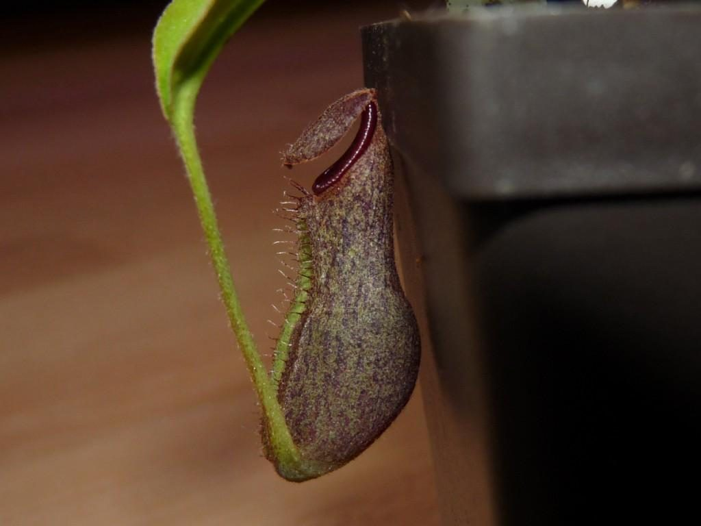 nr20b spathulata x boschiana