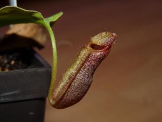 Nepentes spathulata x boschiana 3