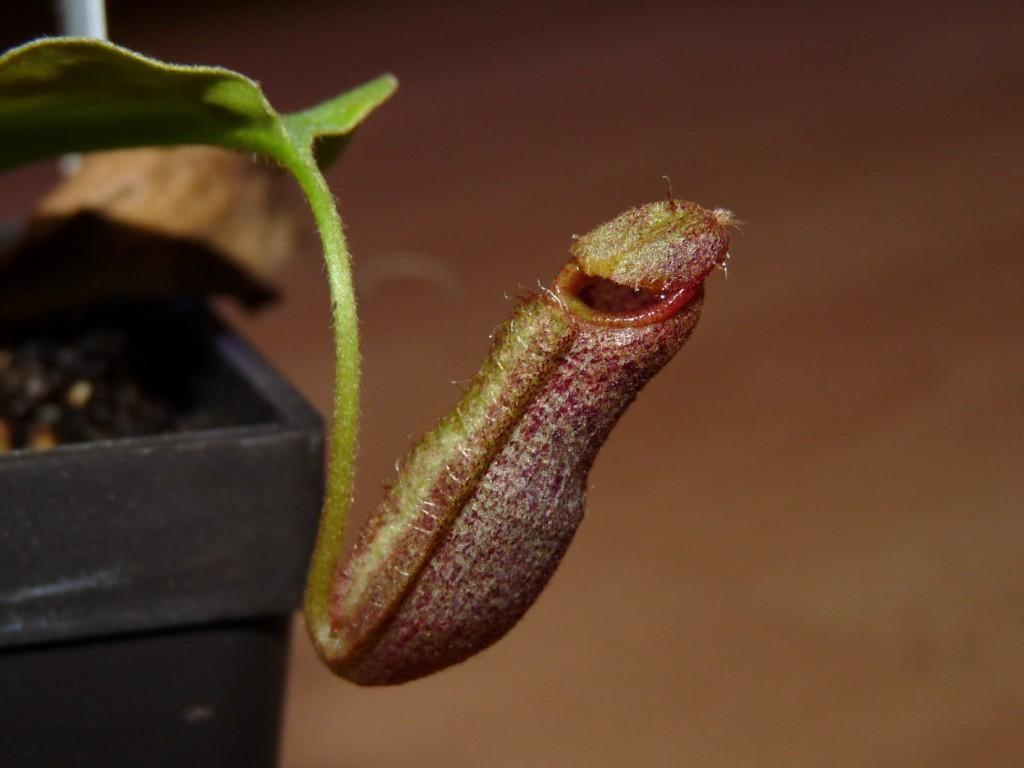 nr20c spathulata x boschiana