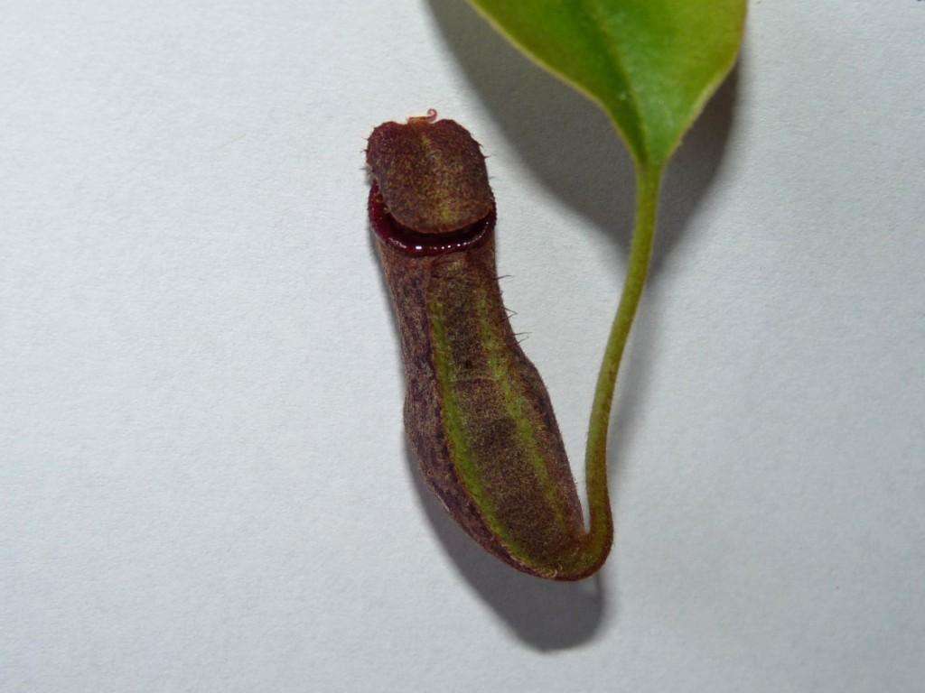 Nepentes spathulata x boschiana 4