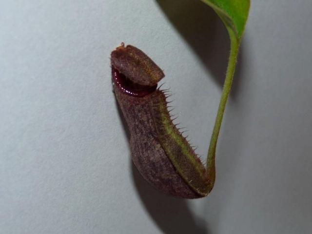 Nepentes spathulata x boschiana 5