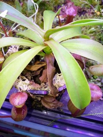 Przesuszony Nepenthes ventrata w suchym torfowcu 2