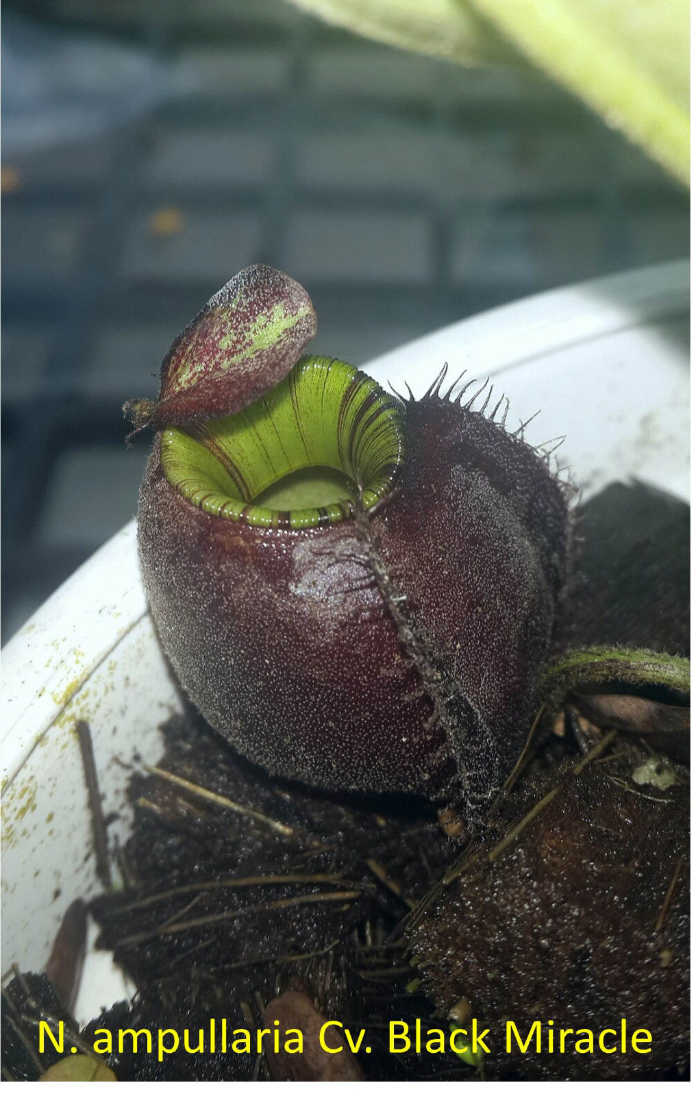 Nepenthes Ampullaria Cv. Black Miracle