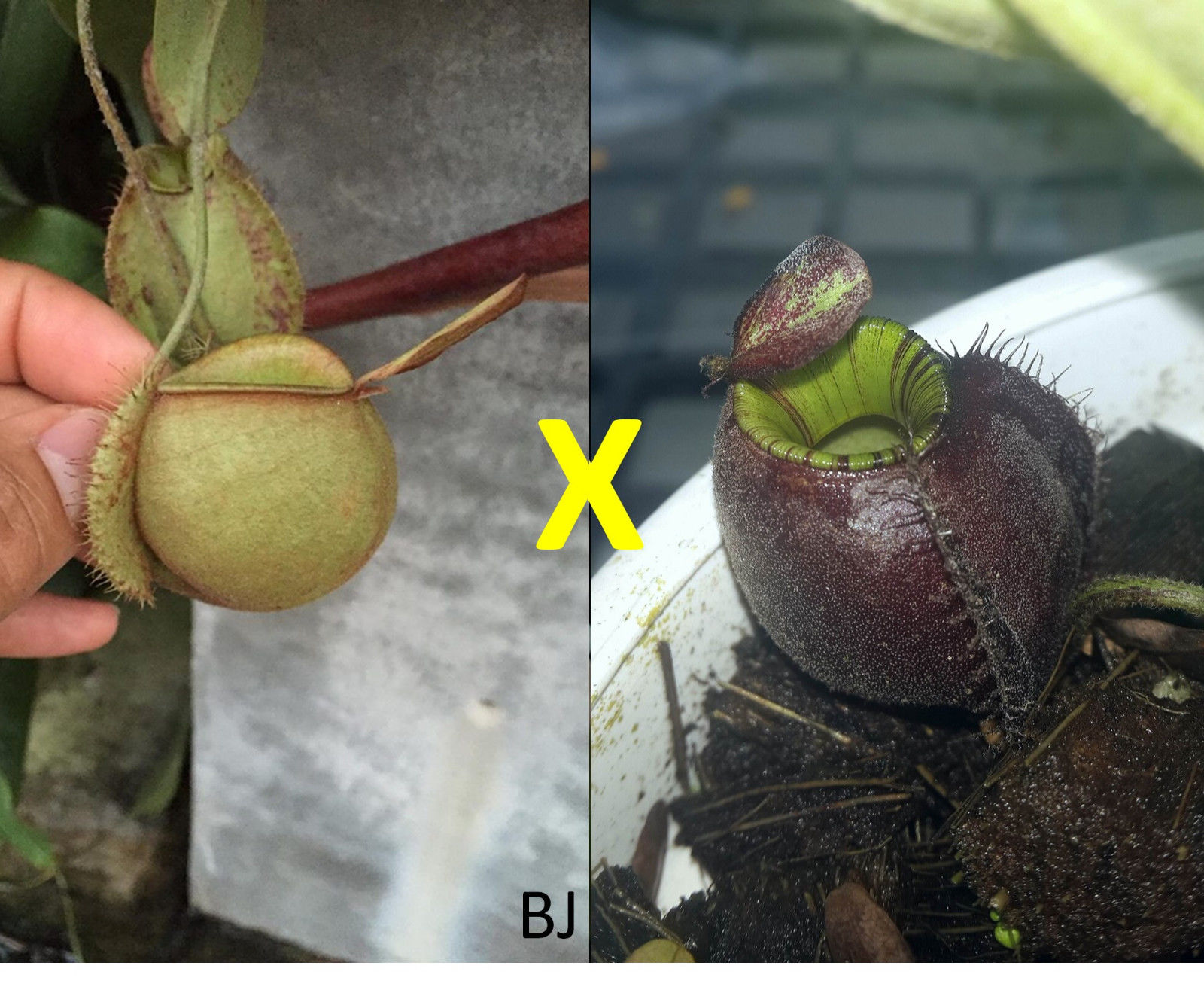 Nepenthes Ampullaria Green Squat Form x Ampullaria Cv. Black Miracle