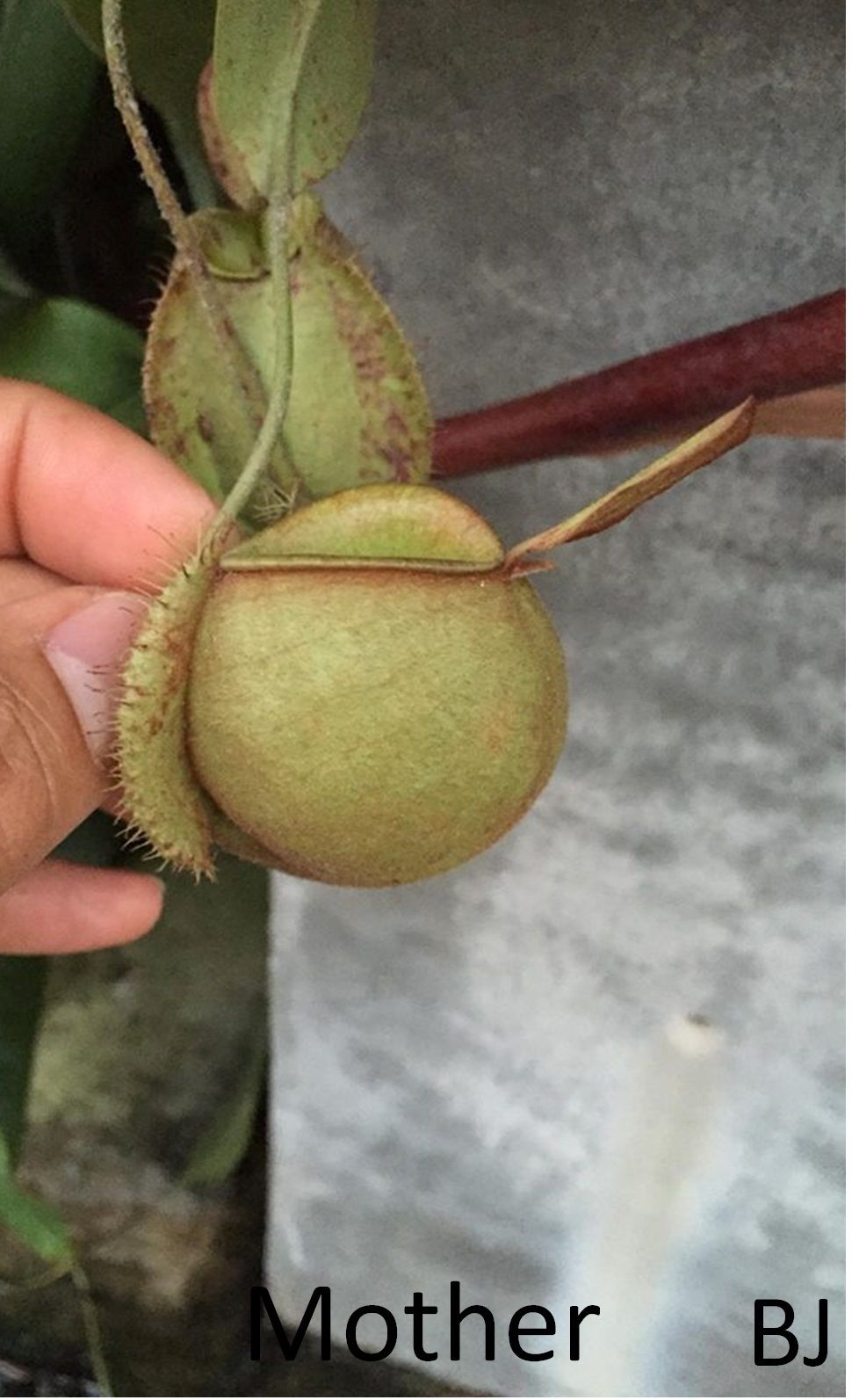 Nepenthes Ampullaria Green Squat Form