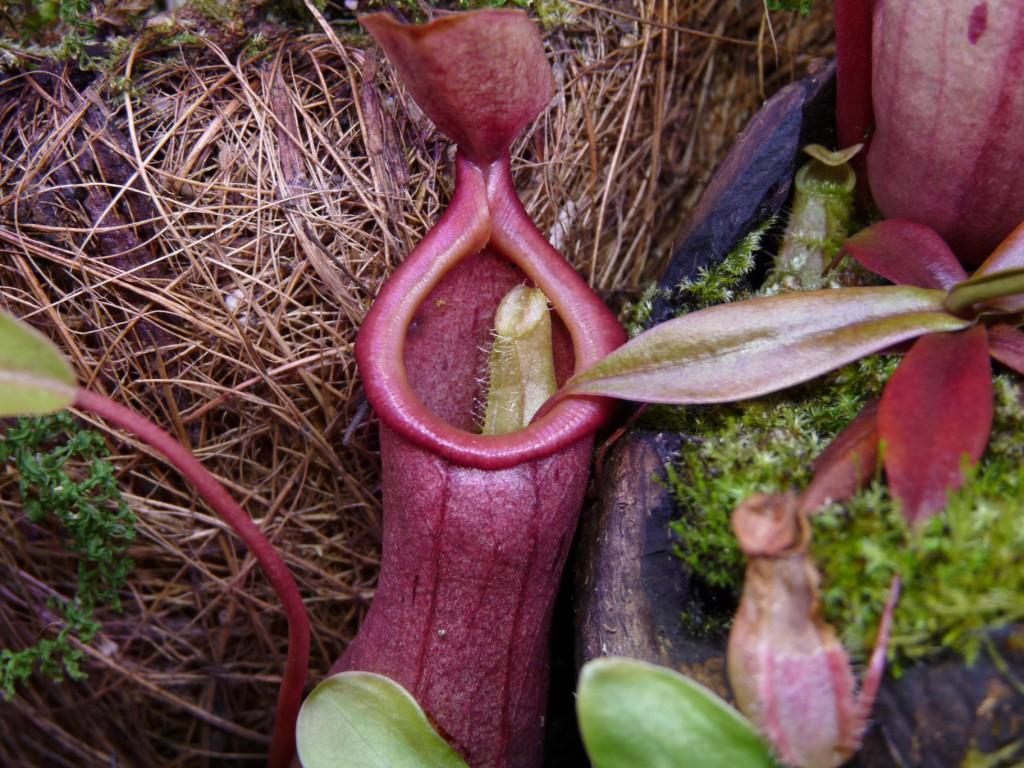 Nepenthes bellii rośnie w N ventrata