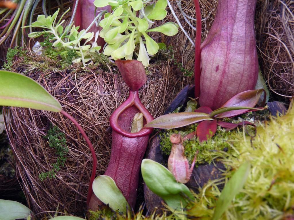 Nepenthes bellii in ventrata