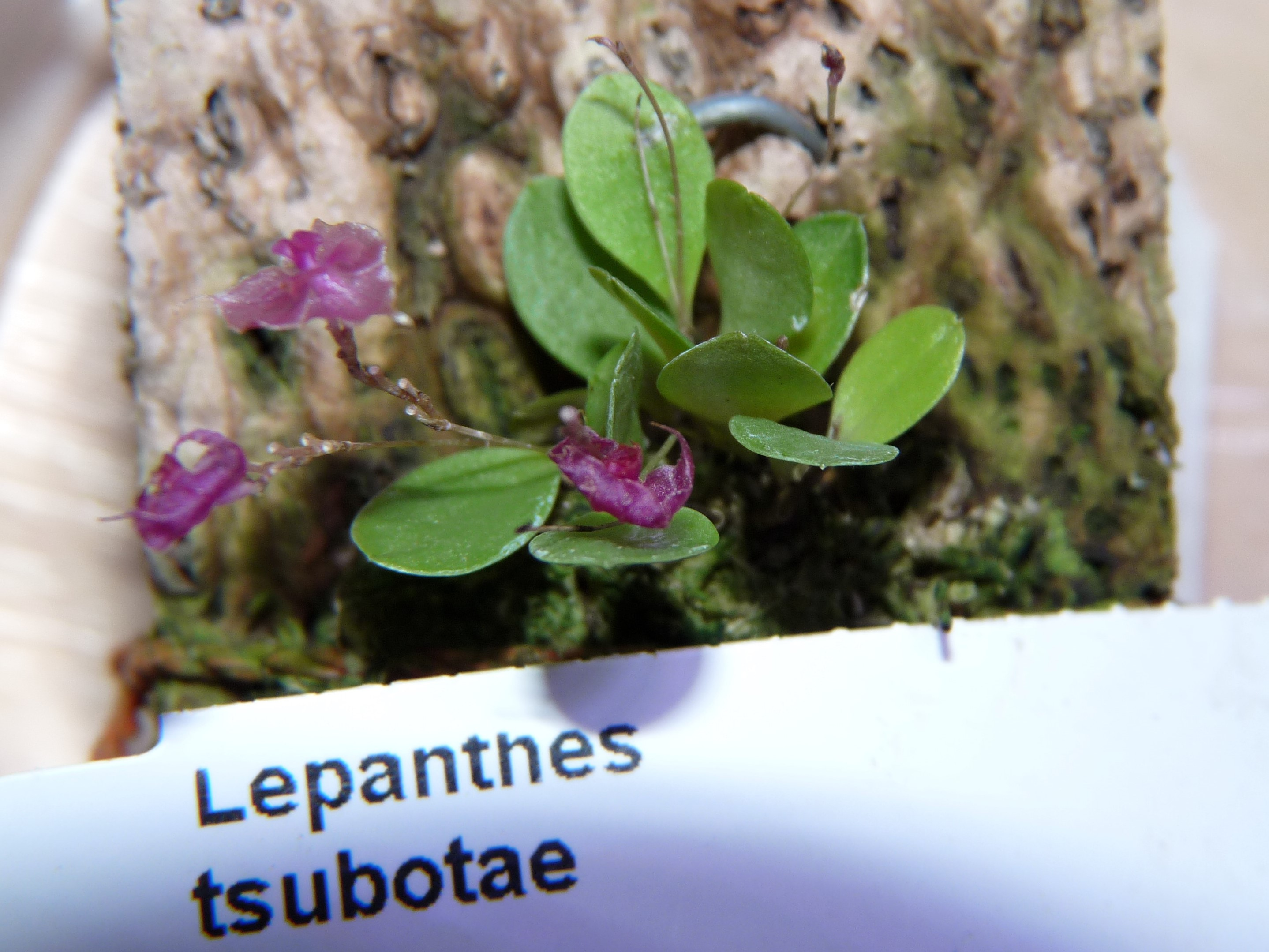Lepanthes tsubotae PIS0715