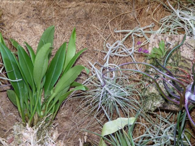 Scaphosepalum breve Lepanthes tsubotae