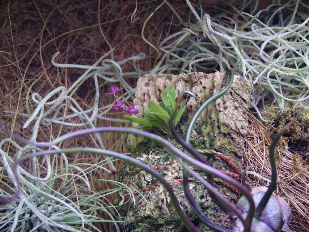 Lepanthes tsubotae w terrarium