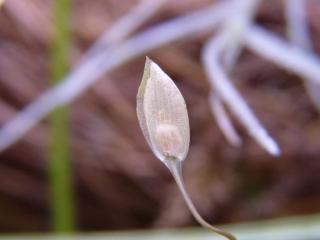 Utricularia involvens nasiono