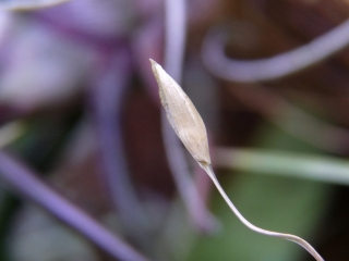Utricularia involvens nasionko
