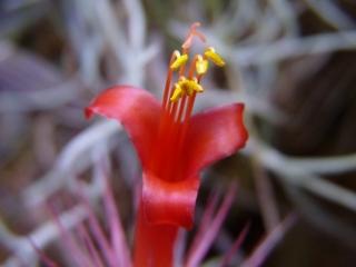 Tillandsia funckiana kwiat6