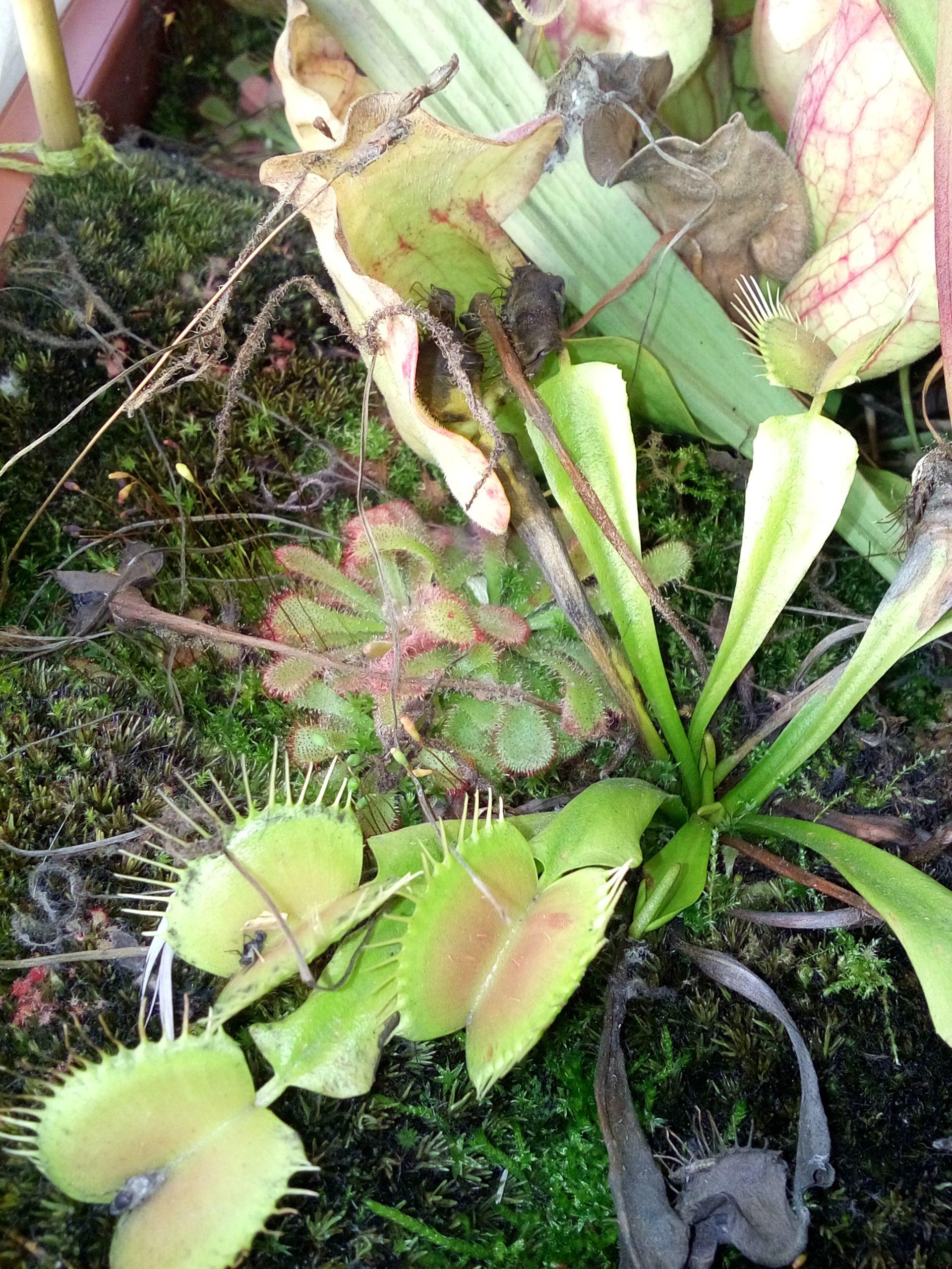 Drosera aliciae i muchołówka zimujące