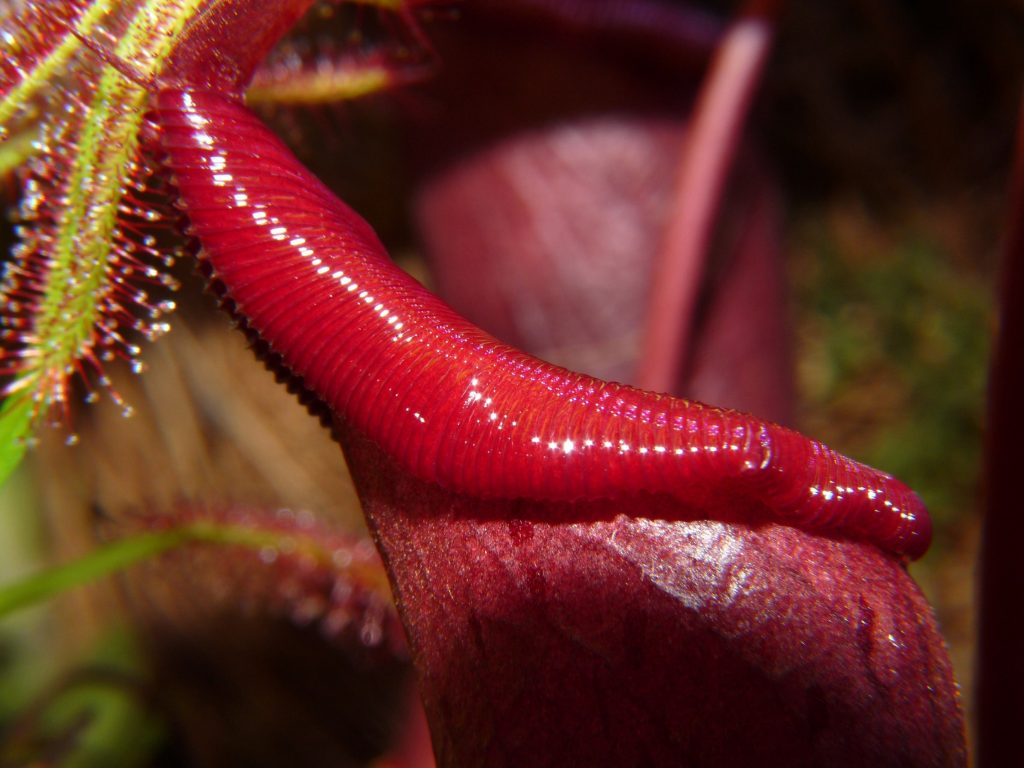 Nepenthes ventrata terra