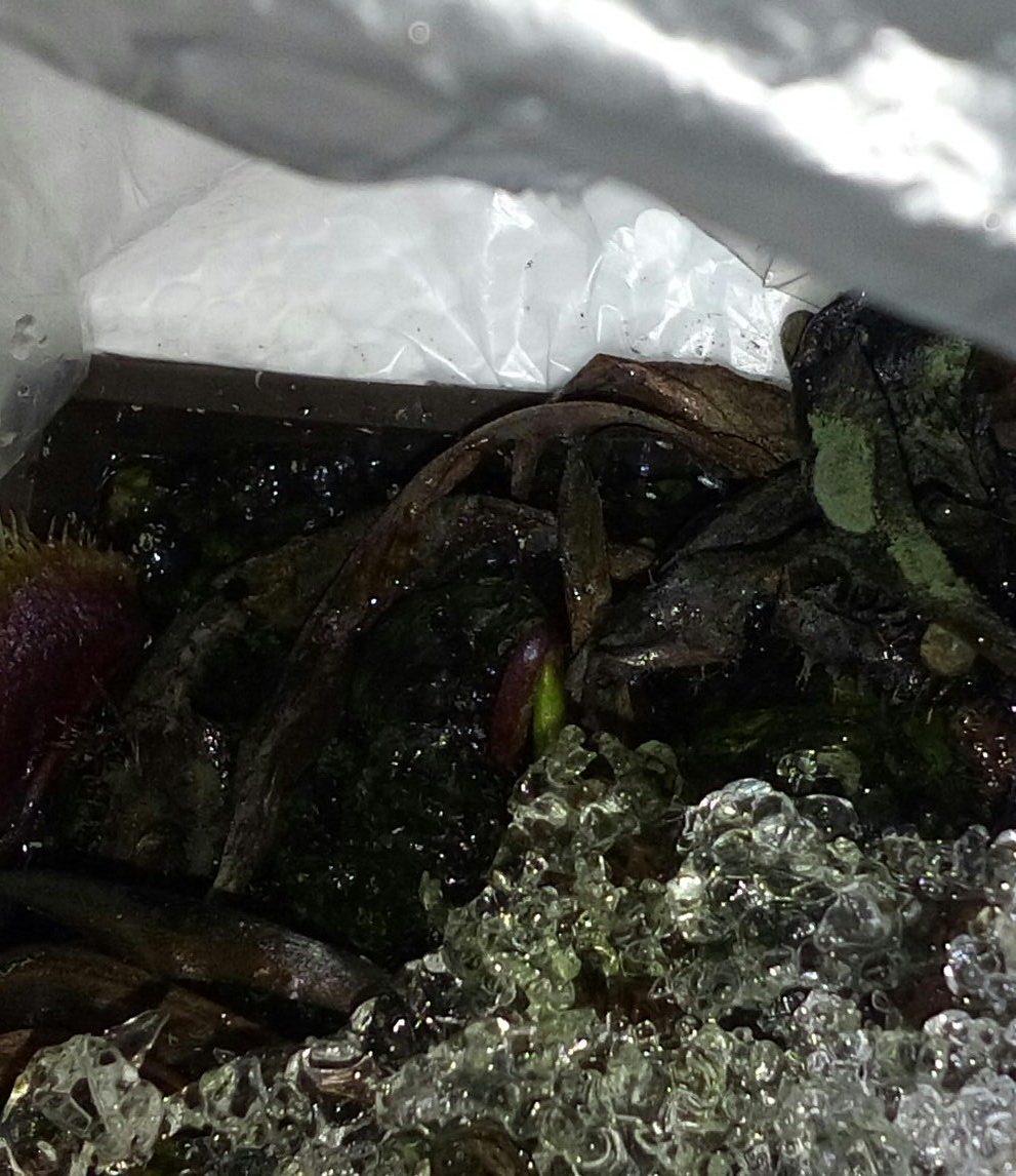 Mały zielony listek muchołówki pod lodem