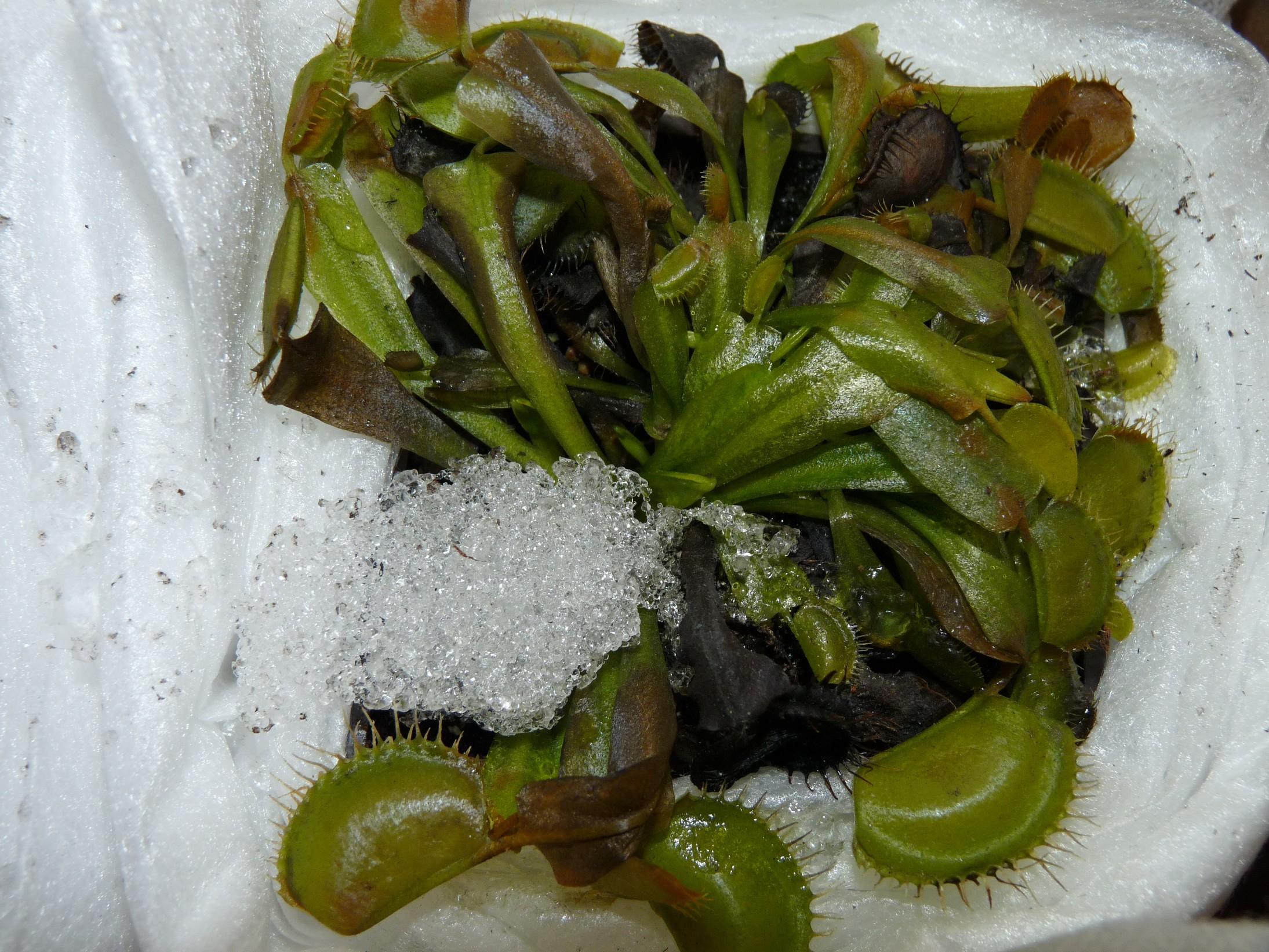 Zimująca muchołówka