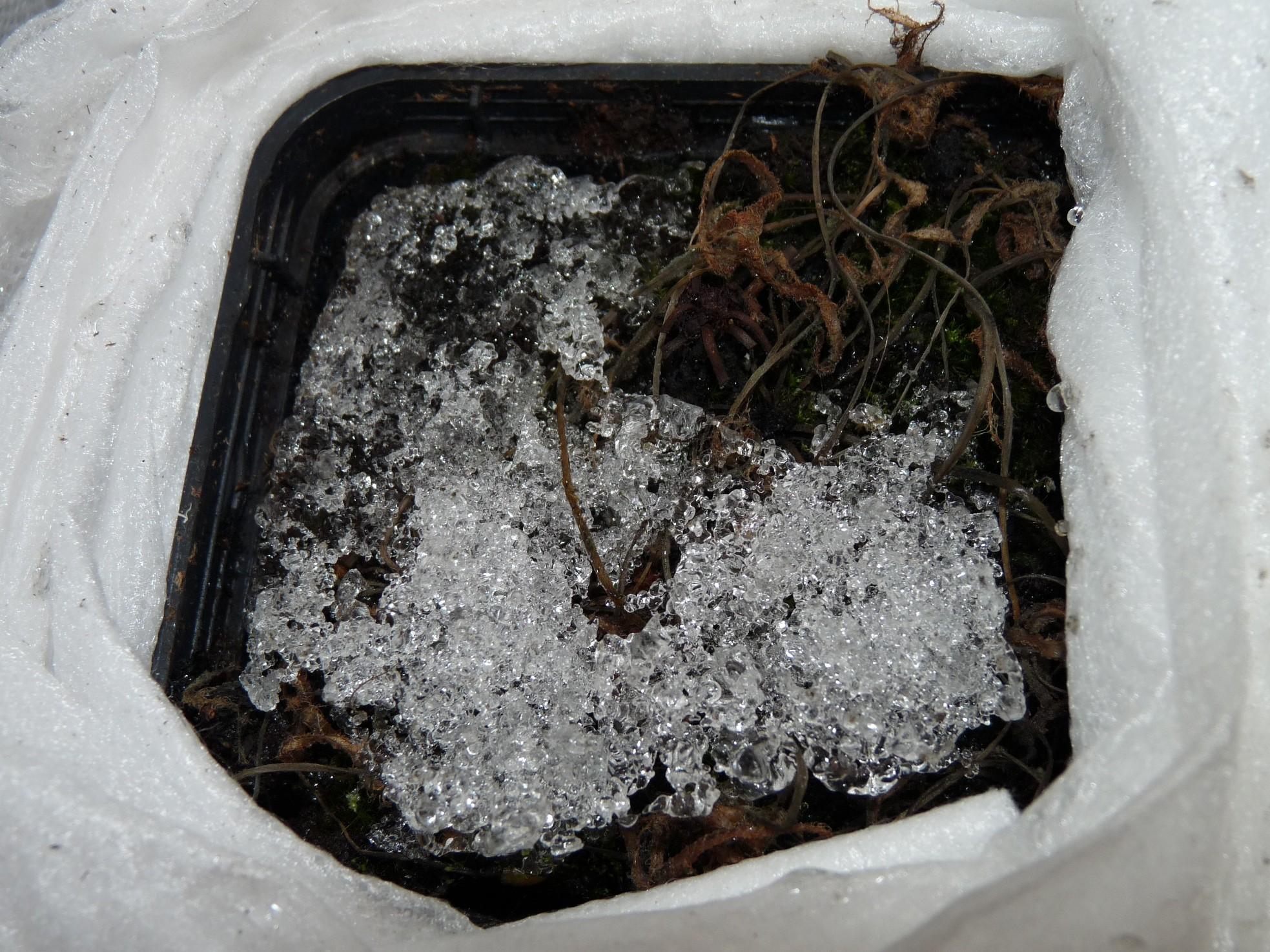Zimująca Drosera binata