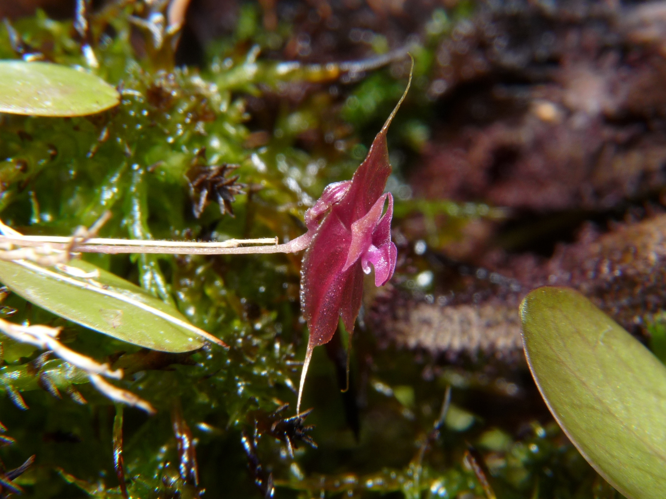 Lepanthes tsubotae pierwszy kwiat zbliżenie