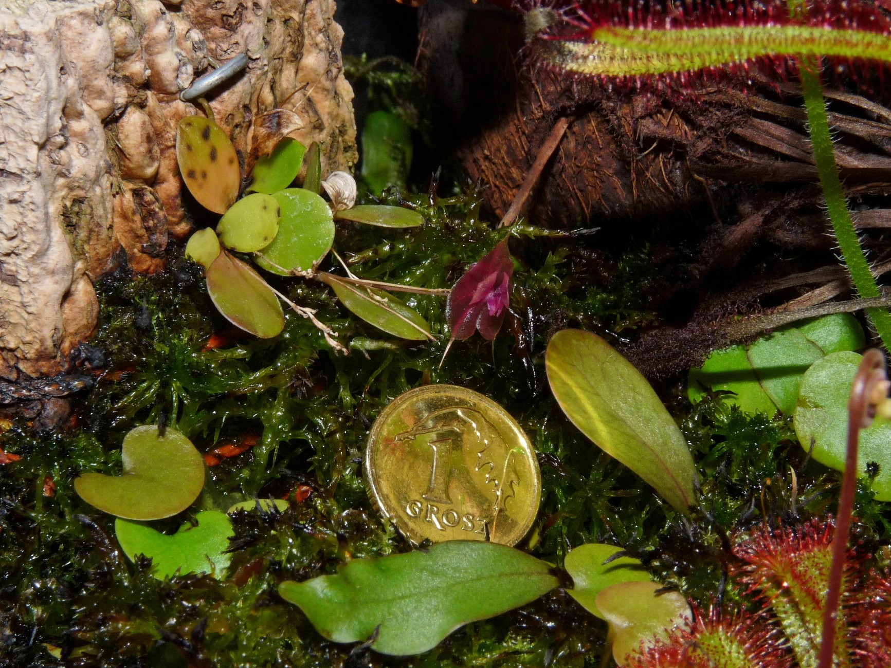 Lepanthes tsubotae pierwszy kwiat porównanie
