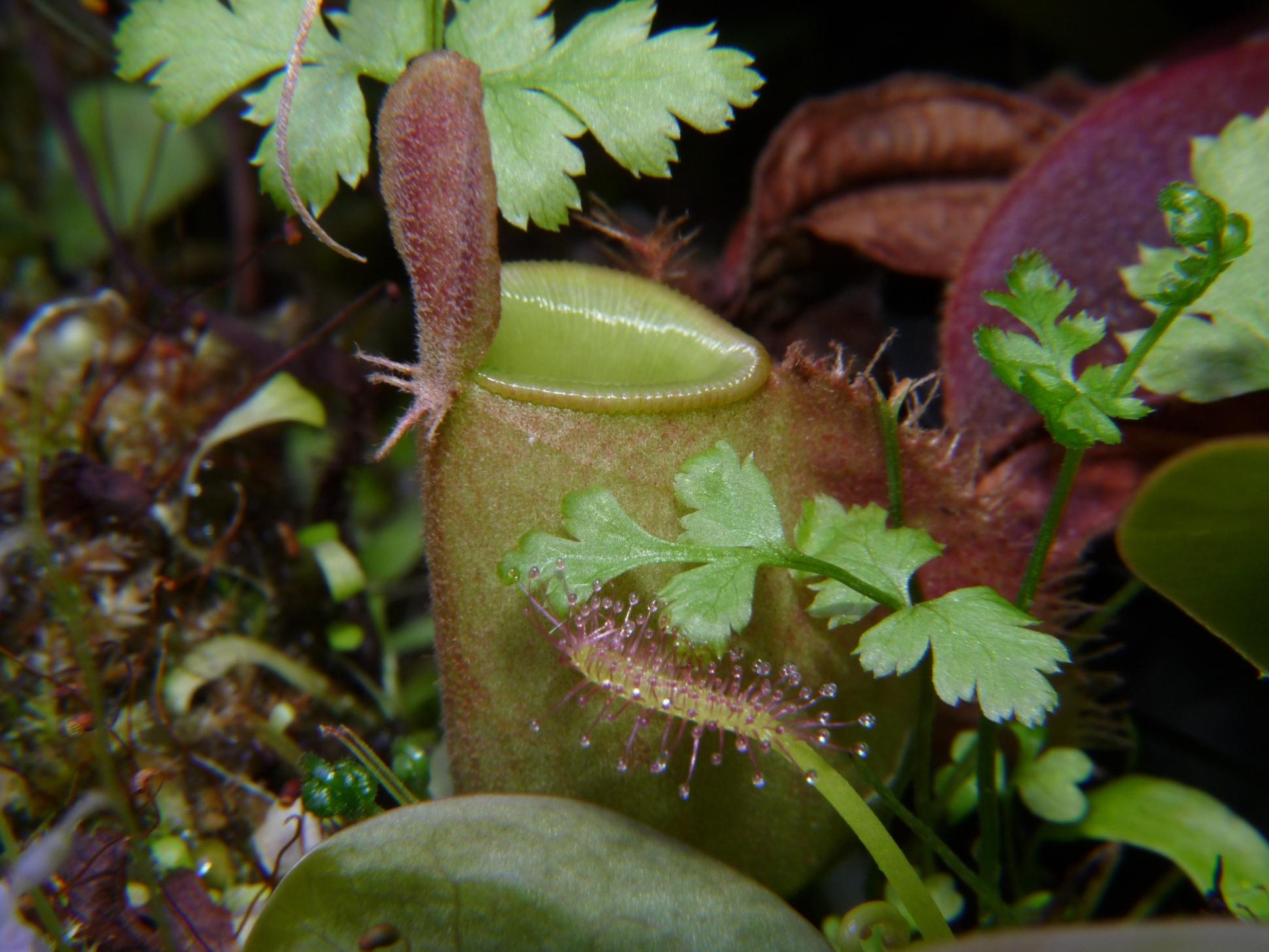 Nepenthes ampullaria Lighly speckled w terrarium
