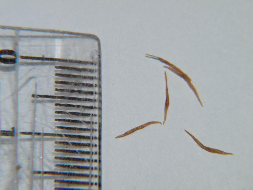 Nasiona Nepenthes vik x ross x vik x hook