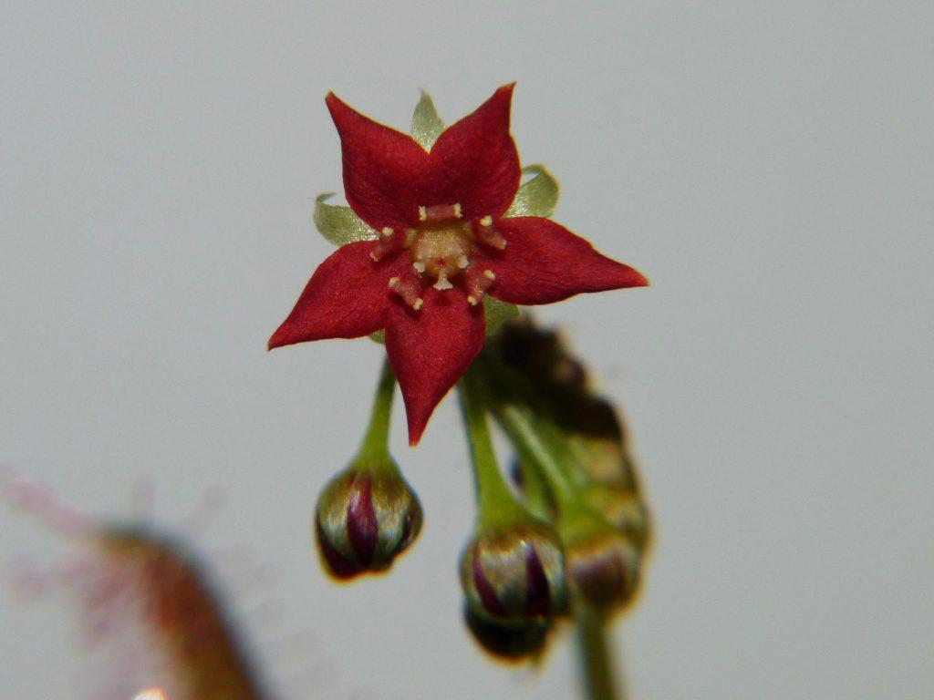 Kwiat Drosera adelae 1