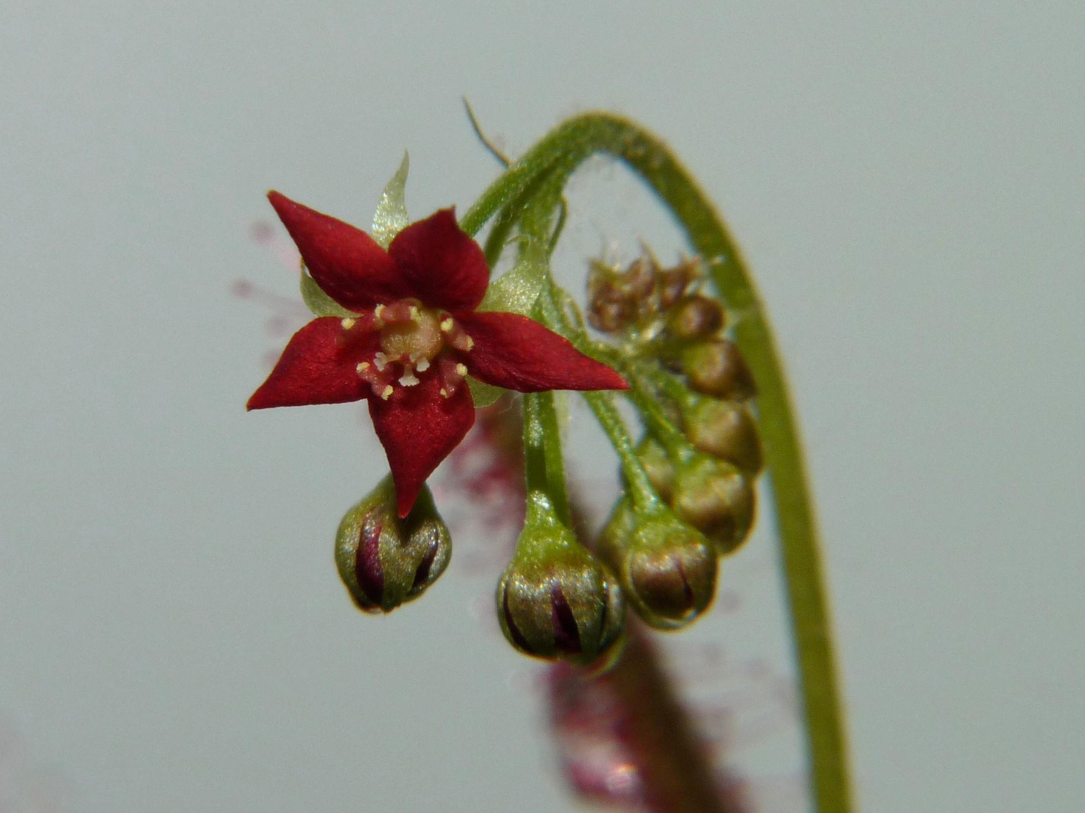 Kwiat Drosera adelae 3