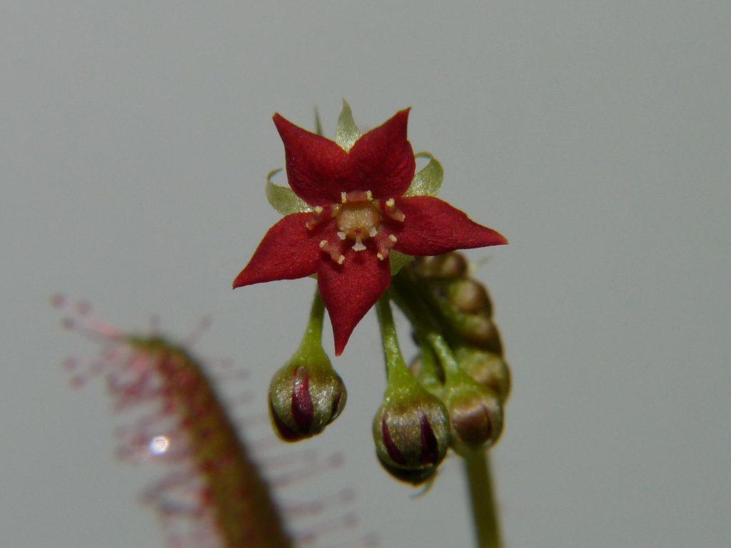 Kwiat Drosera adelae 4