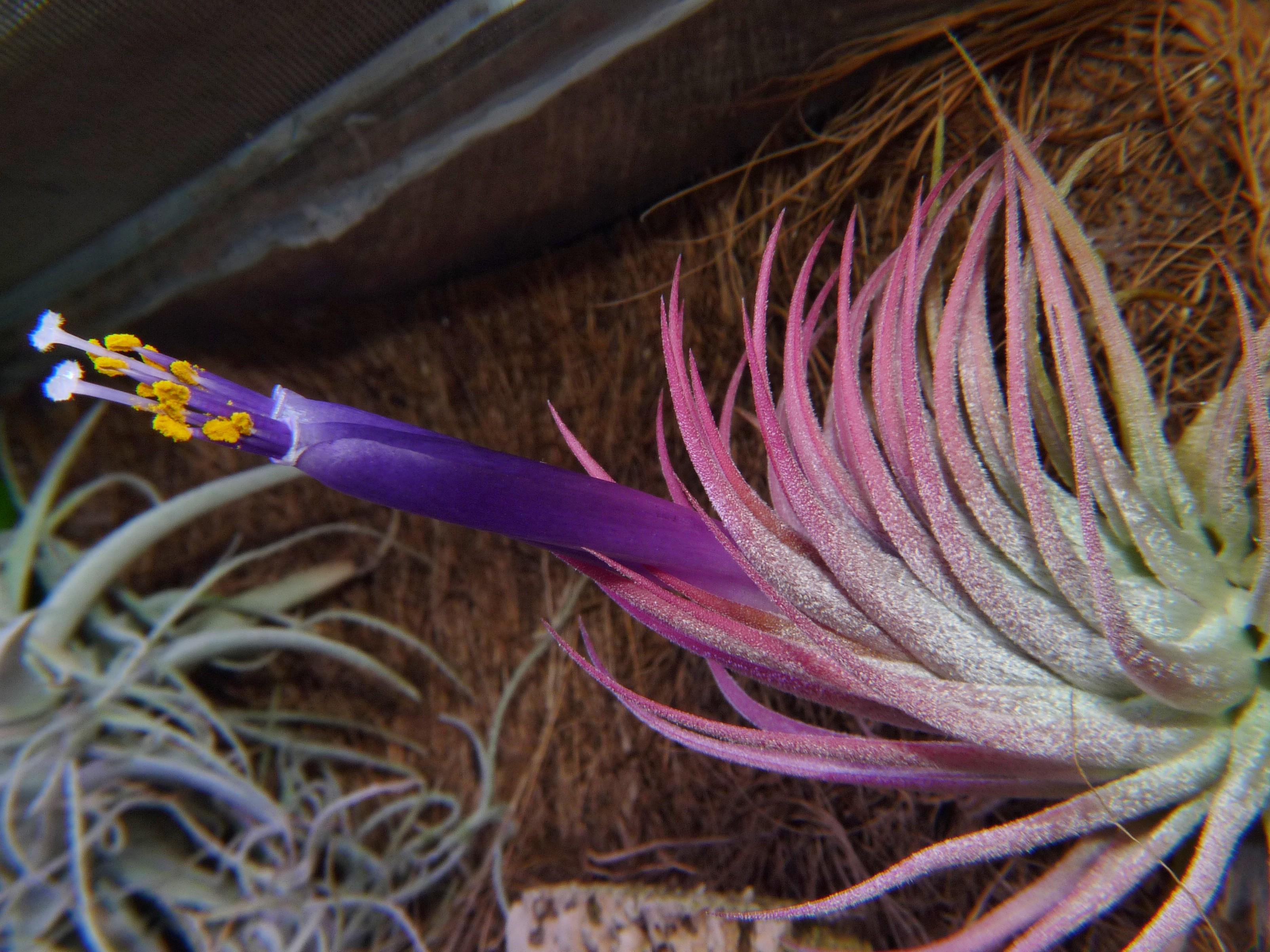 Ionantha fuego kwitnąca