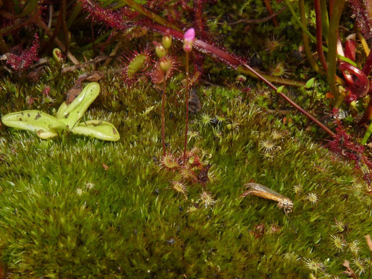 Donica na działce 2017 - Pinguicula vulgaris i Drosera rotundifolia