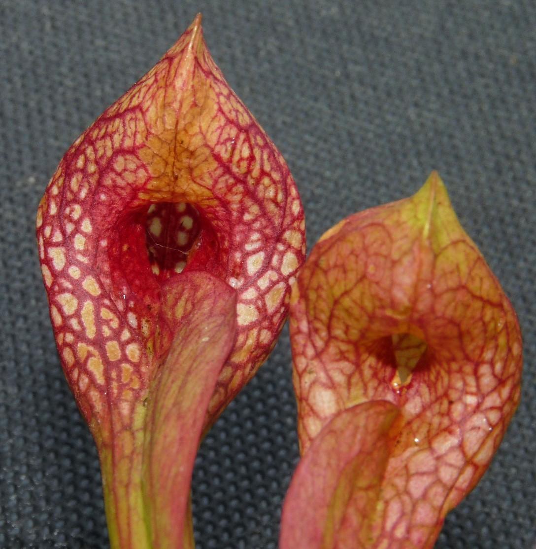 Kapturnica Sarracenia psittacina dzialka2