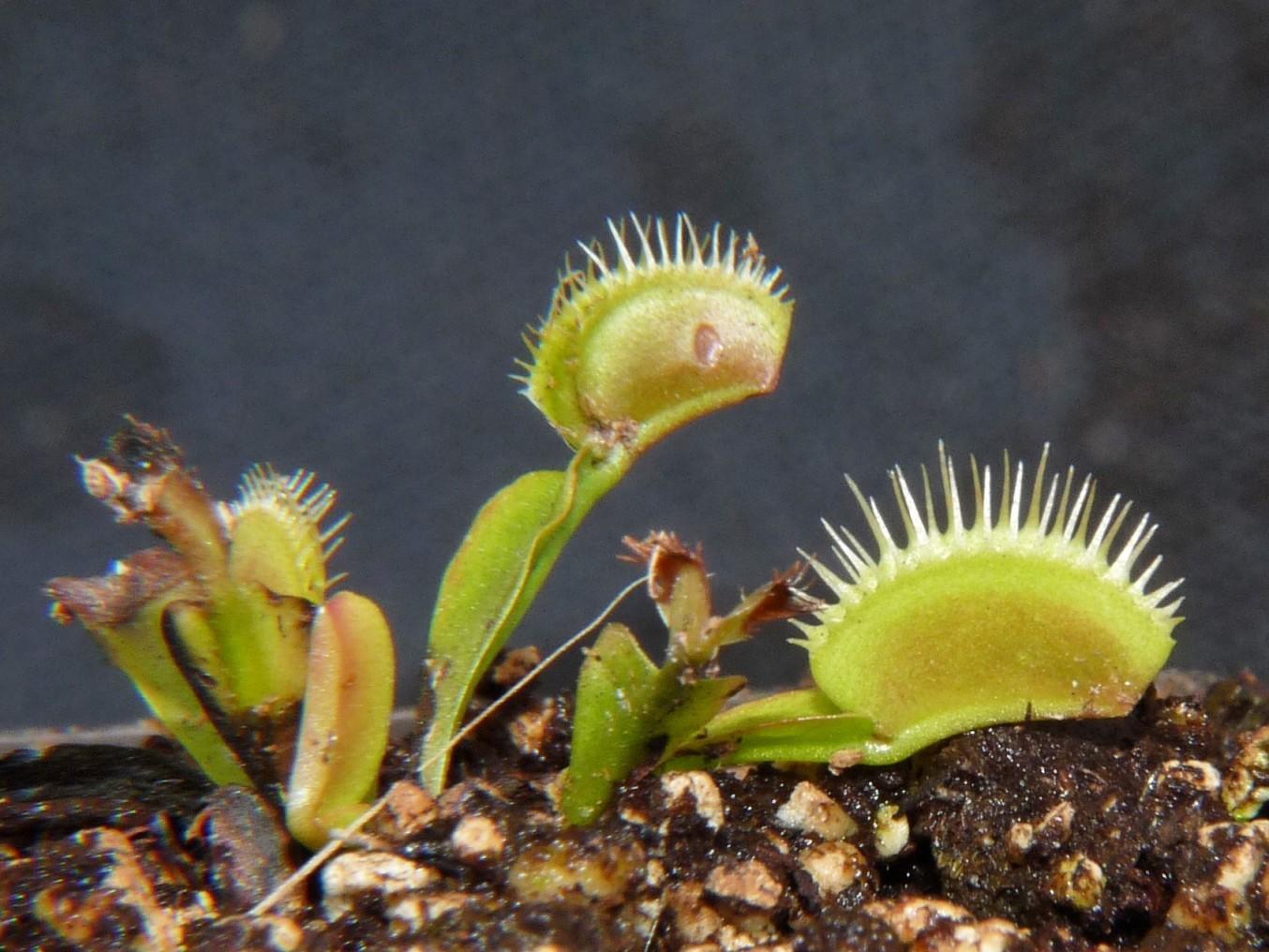 Muchołówka amerykańska Dionaea Muscipula big teeth red giant dzilak4