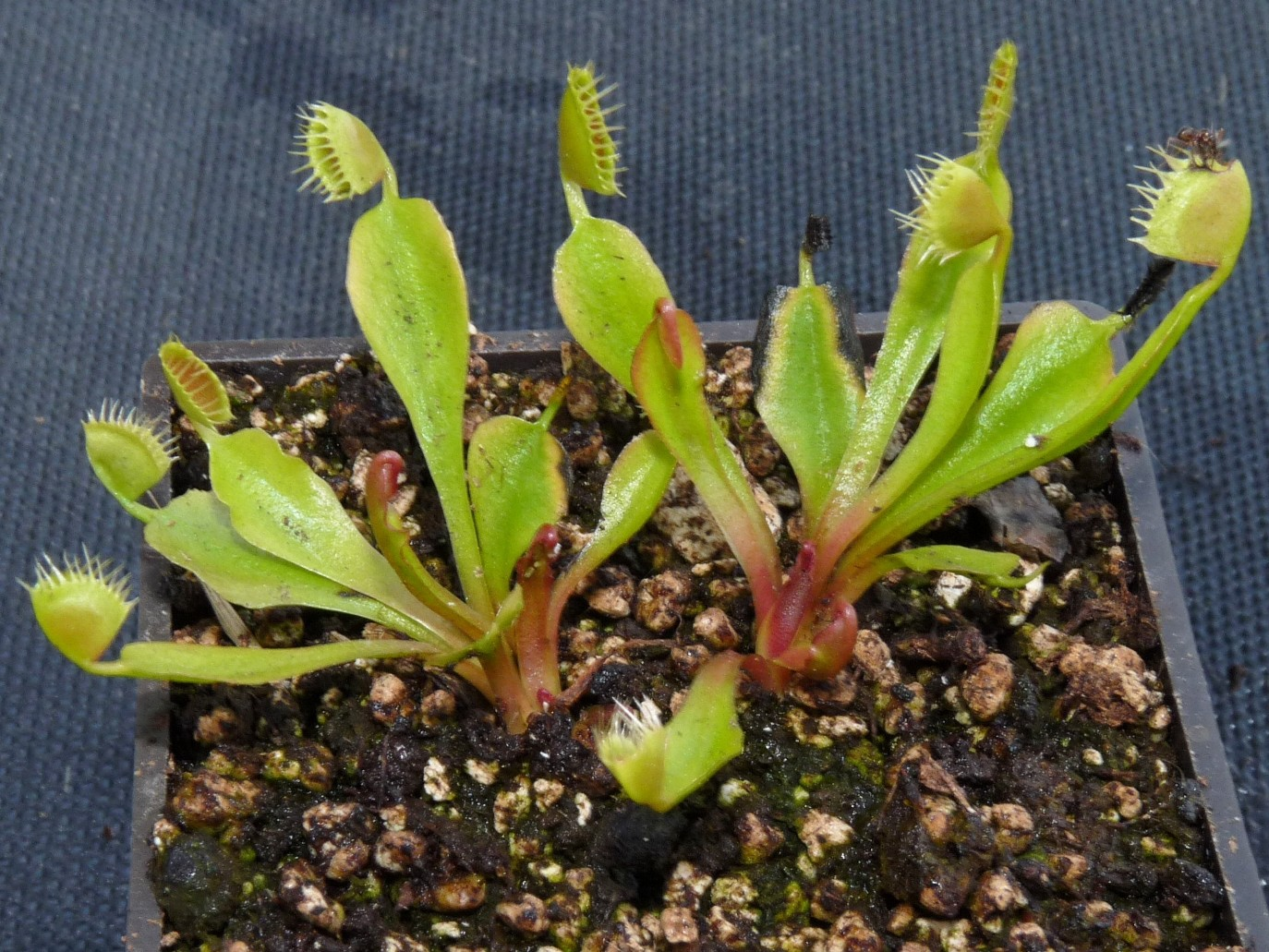 Muchołówka amerykańska Dionaea Muscipula cup trap dzialka