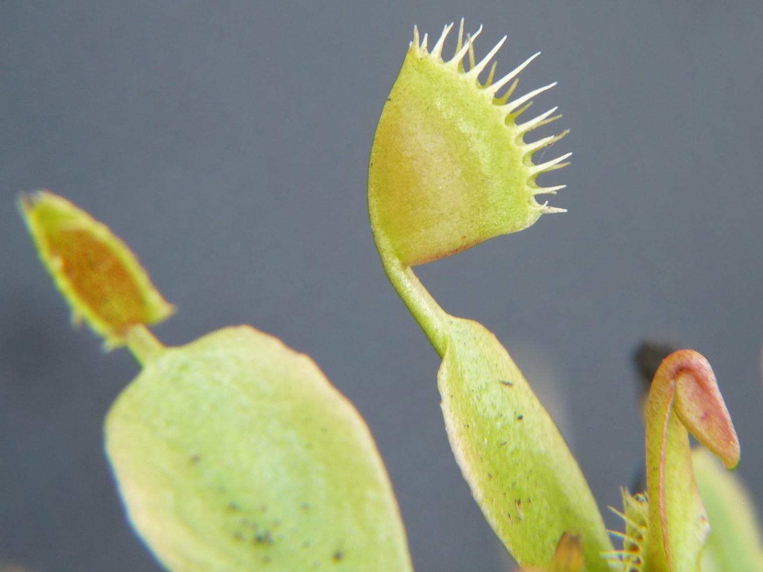 Muchołówka amerykańska Dionaea Muscipula cup trap dzialka6