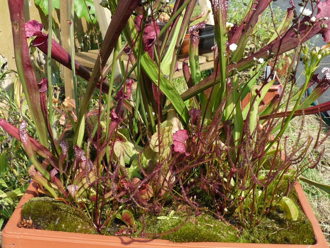 Donica z roślinami owadożernymi na działce lato 2017 widok dżungli