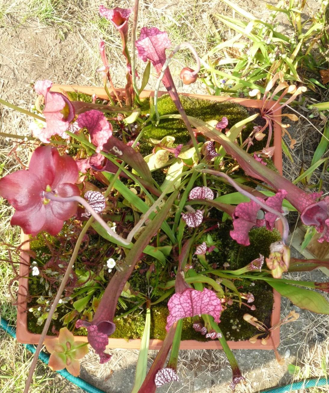 Donica z roślinami owadożernymi na działce lato 2017 widok od góry