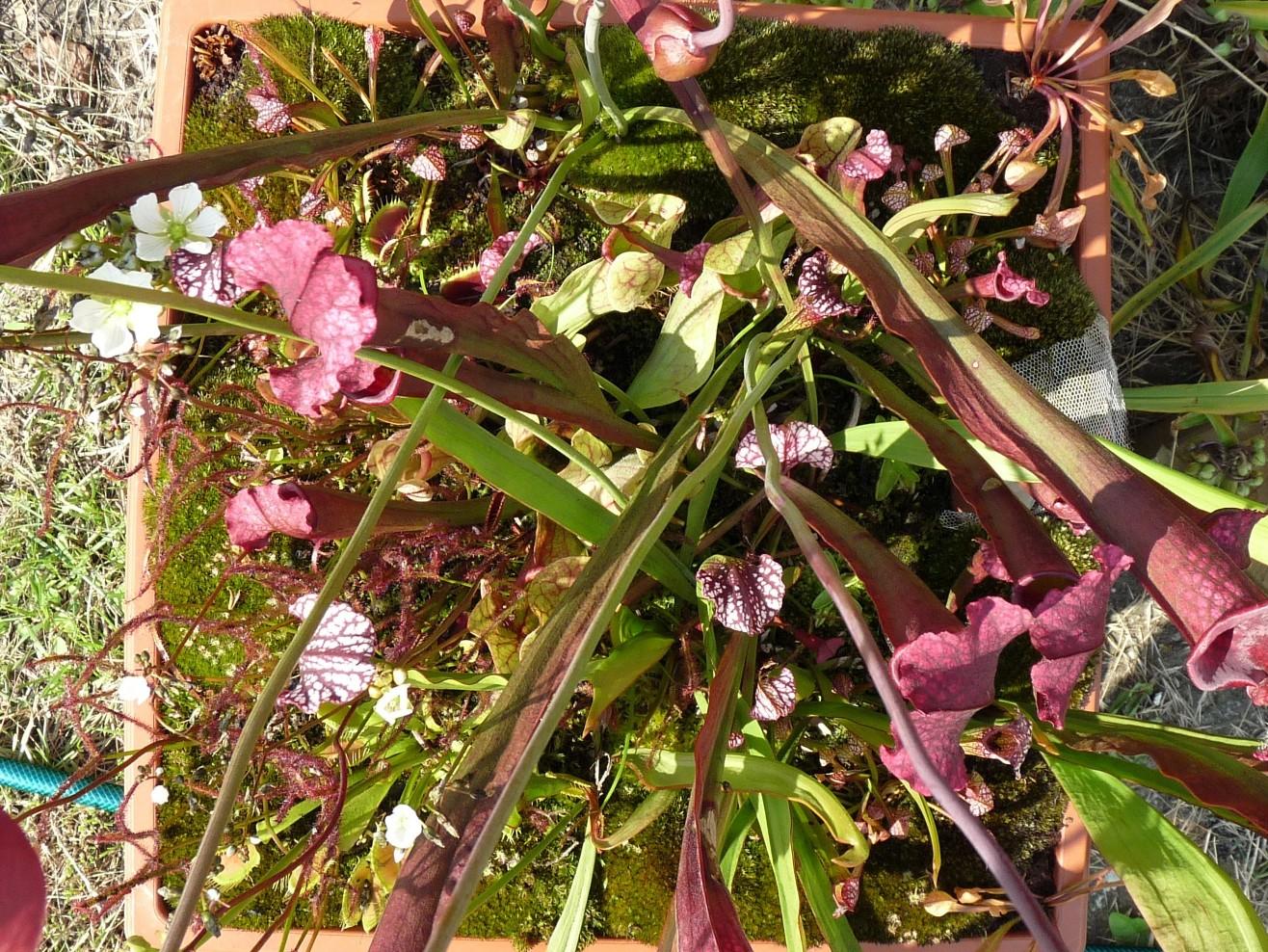 Donica z roślinami owadożernymi na działce lato 2017 widok od góry2