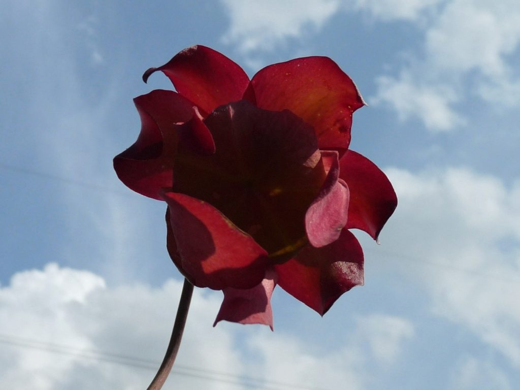 kwiat kapturnicy dzialka2017