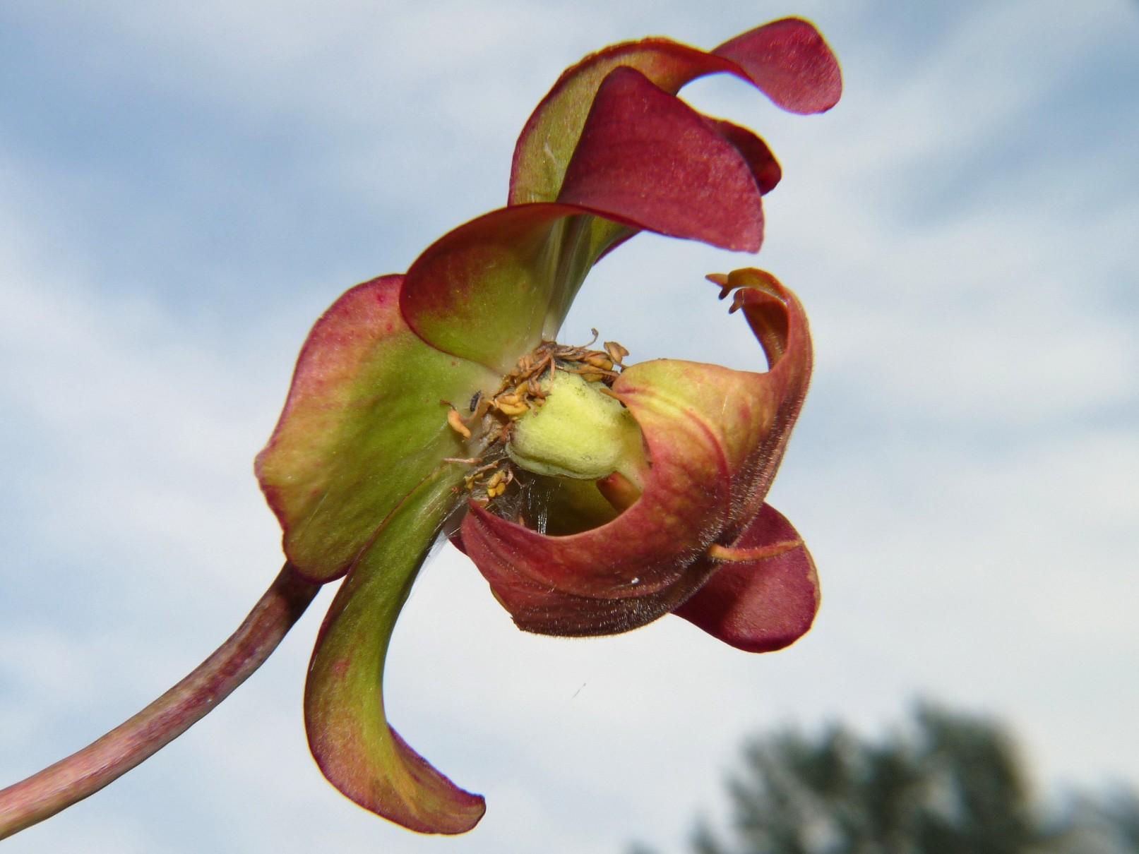 Donica na działce 2017 - kwiat kapturnicy 9