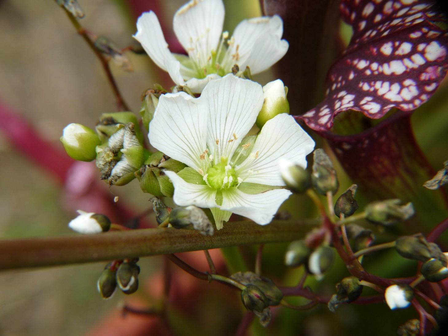Donica na działce 2017 - kwiaty muchołówki i drosera binata