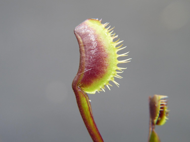Muchołówka amerykańska Dionaea Muscipula maroon monster dzialka5
